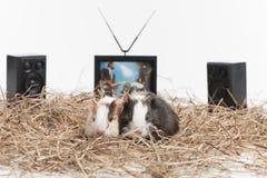 Zwei kleine Hamster auf weißem Hintergrund Stockfoto