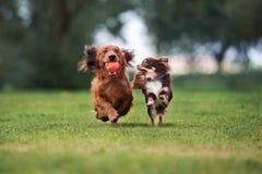 Zwei kleine Hunde, die draußen laufen stockfotografie