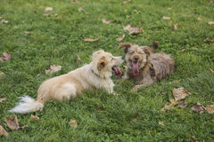 Zwei kleine Hunde, die mit einander auf Rasen spielen Lizenzfreie Stockbilder