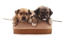Zwei kleine Hunde im Kasten lizenzfreie stockfotos