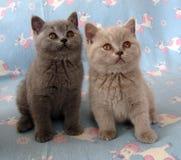 Zwei kleine Kätzchen Lizenzfreies Stockfoto