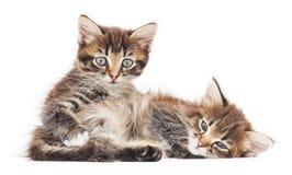 Zwei kleine Kätzchen Lizenzfreies Stockbild