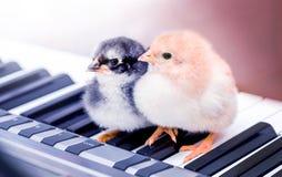 Zwei kleine Küken auf den Klavierschlüsseln Ausführung eines musikalischen Spiels mit einem duet_ stockbilder