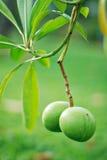 Zwei kleine Mangofrüchte Stockfotos