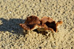 Zwei kleine Pilze auf dem Strand Lizenzfreie Stockbilder