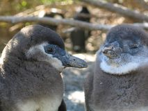 Zwei kleine pinguinos sind allein Stockbilder