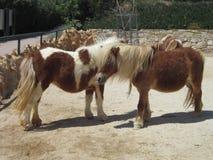 Zwei kleine Ponypferde Stockbild