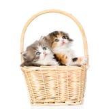 Zwei kleine schottische Kätzchen, die im Korb sitzen und oben schauen Lokalisiert auf Weiß Stockbild