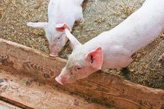 Zwei kleine Schweine Stockbild