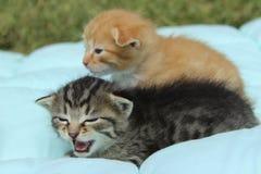 Zwei kleine Tabby Kittens lizenzfreies stockfoto