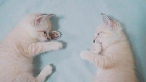 Zwei kleine weiße Miezekatzekätzchen spielen das Kämpfen auf dem lustigen Video des Betts weißes Kätzchen der Katzen zwei, das Sc stock footage