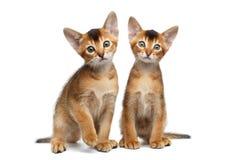 Zwei kleiner Abyssinier Kitty Sitting auf lokalisiertem weißem Hintergrund Stockfotos