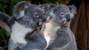 Zwei Koala, die in den Abstand blicken Lizenzfreie Stockfotografie