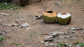 zwei Kokosnüsse im Garten stockfotos