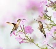 Zwei Kolibris inmotion. lizenzfreie stockbilder