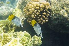 Zwei korallenrote Fische unter Korallen Stockbilder