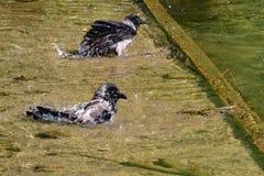 Zwei Krähen baden im Fluss Stockbilder