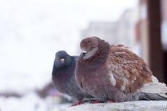 Zwei kräuselten Tauben im Winter auf der Straße, sitzen in einer Reihe Stockfotos