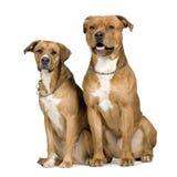 Zwei Kreuzunghunde Stockfoto