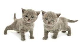 Zwei Kätzchen über Weiß Lizenzfreies Stockfoto