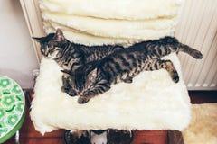 Zwei Kätzchen der getigerten Katze, die zusammen schlafend liegen Stockbild