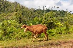 Zwei kubanische Schafe, die entlang eine Straße in Nationalpark alejandro Des Humboldt nahe baracoa Kuba gehen lizenzfreie stockfotografie
