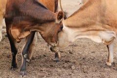 Zwei Kuhstoßköpfe Lizenzfreie Stockfotografie
