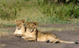 Zwei Löwe Cubs Stockfotos