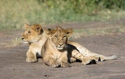 Zwei Löwe Cubs Stockbild
