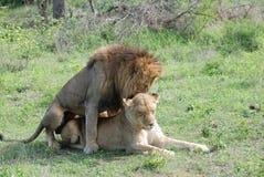 Zwei Löwen in der Liebe Stockbild