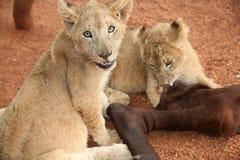 Zwei Löwen, die Antilope essen Stockbilder