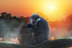 Zwei L ` Hoest-` s Affe auf dem Baum mit Sonnenuntergang Lizenzfreie Stockbilder