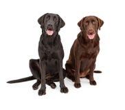 Zwei Labrador-Apportierhund-Hunde, die zusammen sitzen Lizenzfreies Stockfoto