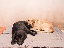 Zwei Labrador-Hunde Lizenzfreies Stockfoto