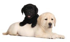 Zwei Labrador-Welpen, 7 Wochen alt Stockfotografie