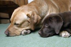 Zwei labradors Apportierhund stockfotografie