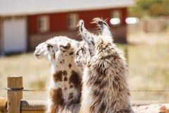 Zwei Lamas, die in Richtung der Scheune blicken Stockfoto