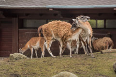 Zwei Lamas am Zoo in Berlin Lizenzfreies Stockbild