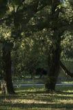 Zwei Laubbäume mit einem Schatten lizenzfreie stockbilder