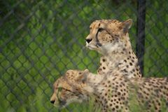 Zwei lauernde Geparde Stockfotografie