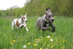 Zwei laufende Hunde auf einem Feld lizenzfreies stockfoto