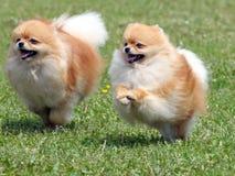 Zwei laufende pomeranian Hunde lizenzfreie stockfotos