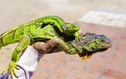 Zwei Leguane lizenzfreies stockbild