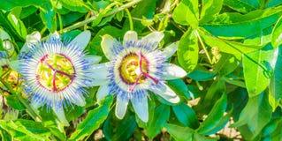 Zwei Leidenschaftsblumenmakrofahnen-Hintergrundvibrierende weiße und purpurrote Farben Lizenzfreie Stockfotografie