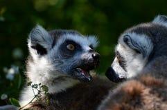 Zwei Lemurs lizenzfreies stockbild