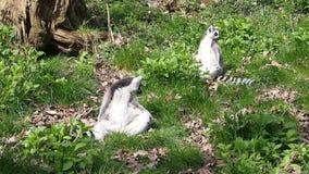 Zwei Lemurs stock footage