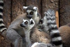 Zwei Lemurs in einem Wald Stockfotografie
