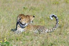 Zwei Leopard-Spielen Stockfotografie