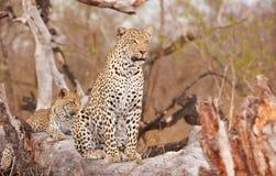 Zwei Leoparden, die auf dem Baum stillstehen Stockfotografie