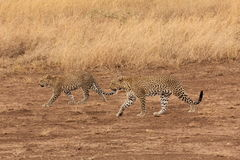 Zwei Leoparden, die in die Savanne gehen stockfoto